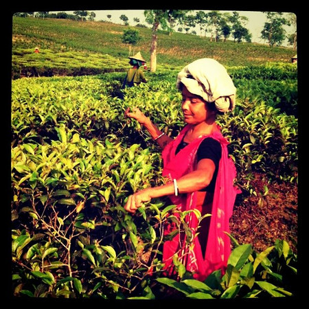 Picking tea outside Srimongal, Bangladesh