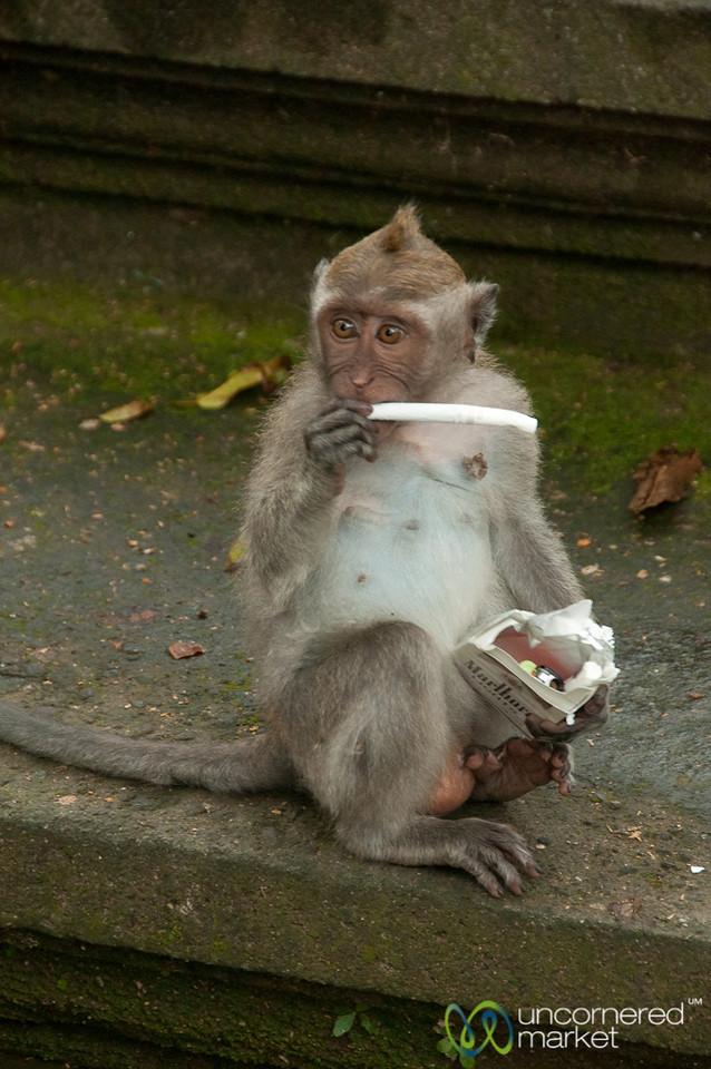Baby Monkey with Cigarette - Ubud, Bali