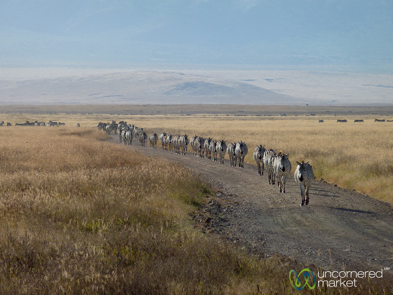 Migration of the Zebras - Ngorongoro Crater, Tanzania