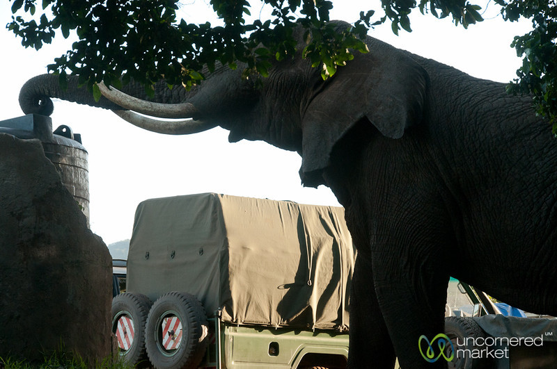 Elephant Taking Drink at Campsite - Ngorongoro Crater, Tanzania