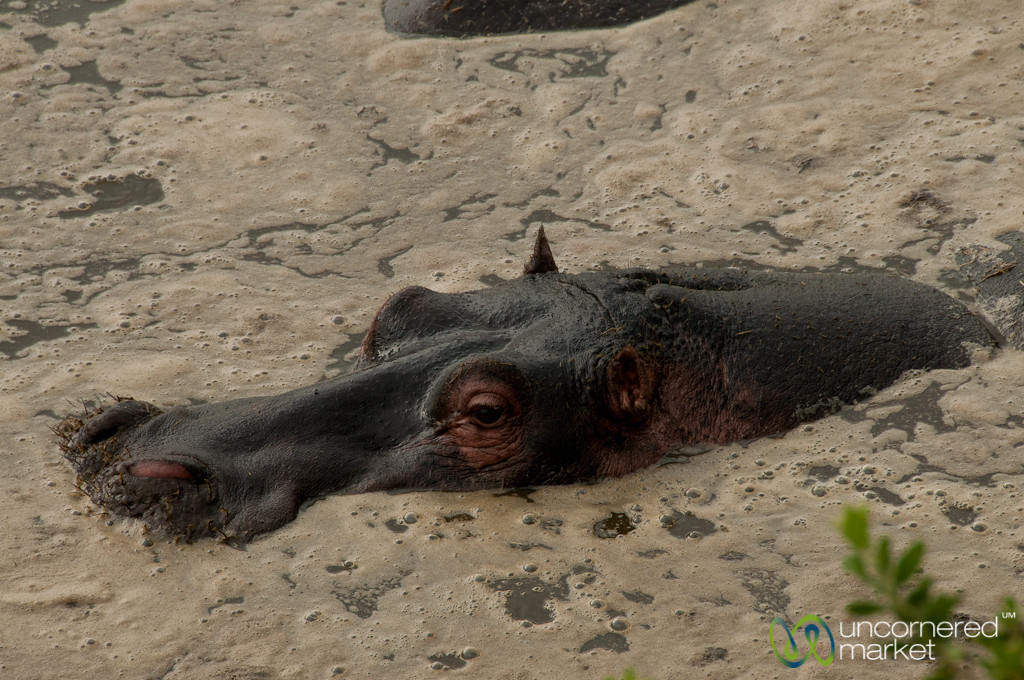 Hippopotamus Close Up - Serengeti, Tanzania