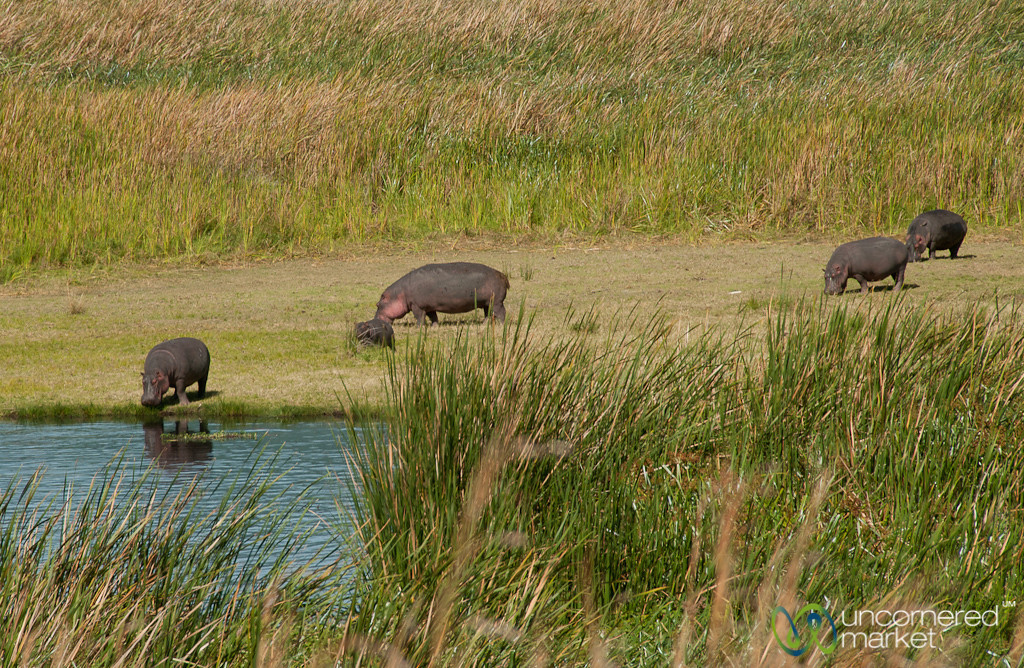 Hippos in the Grass - Ngorongoro Crater, Tanzania