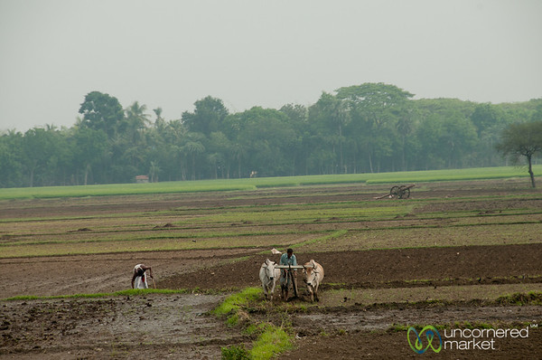 Plowing Rice Fields with Oxen - Bangladesh