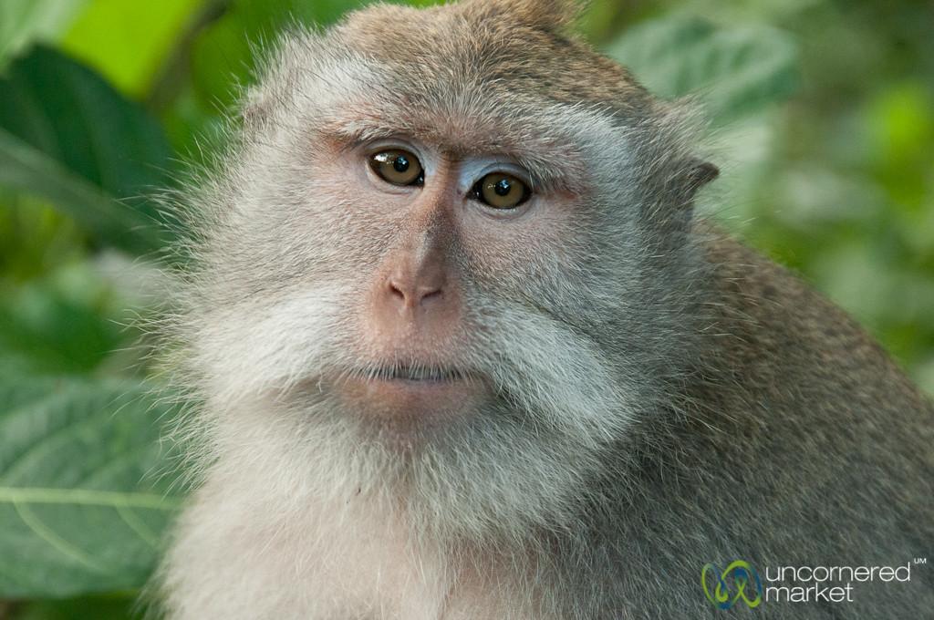 Resting Monkey - Ubud, Bali