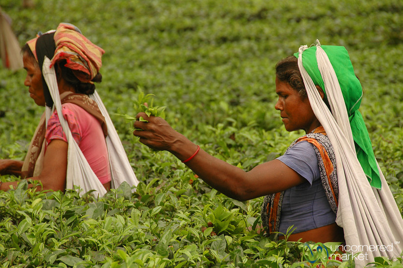 Tea Leaf Picking - West Bengal, India