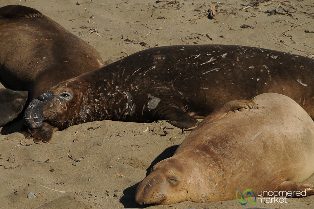 Coming Across Sleeping Elephant Seals - Route 1 in Calfornia