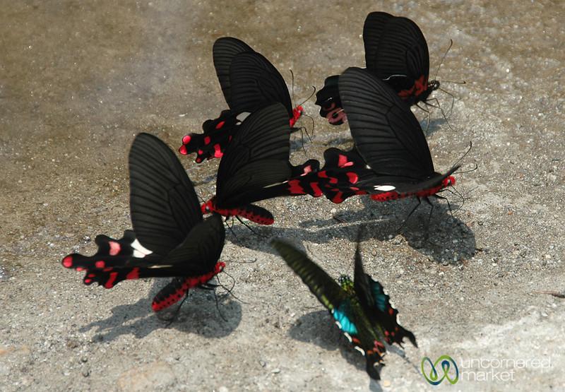 Beautiful Butterflies - Sikkim