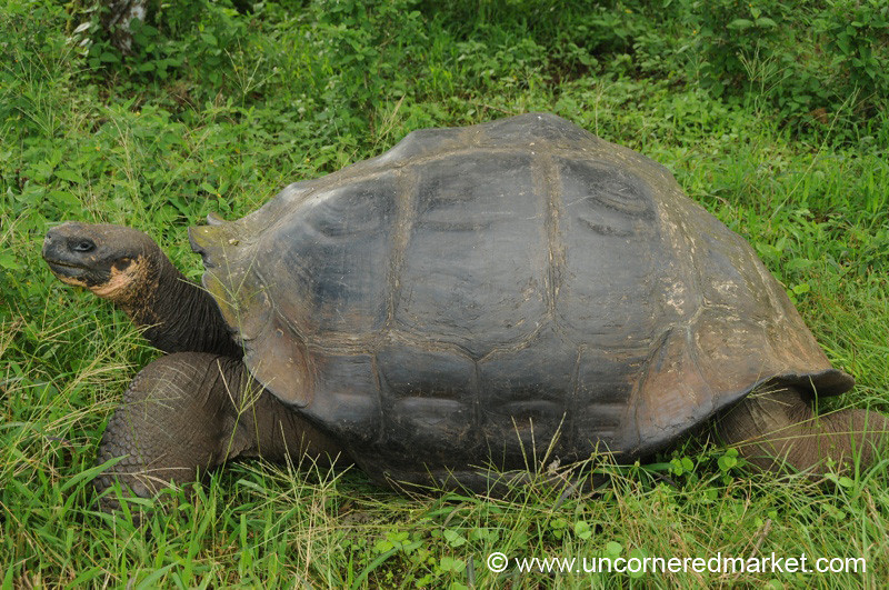 Giant Tortoise in the Wild - Galapagos Islands