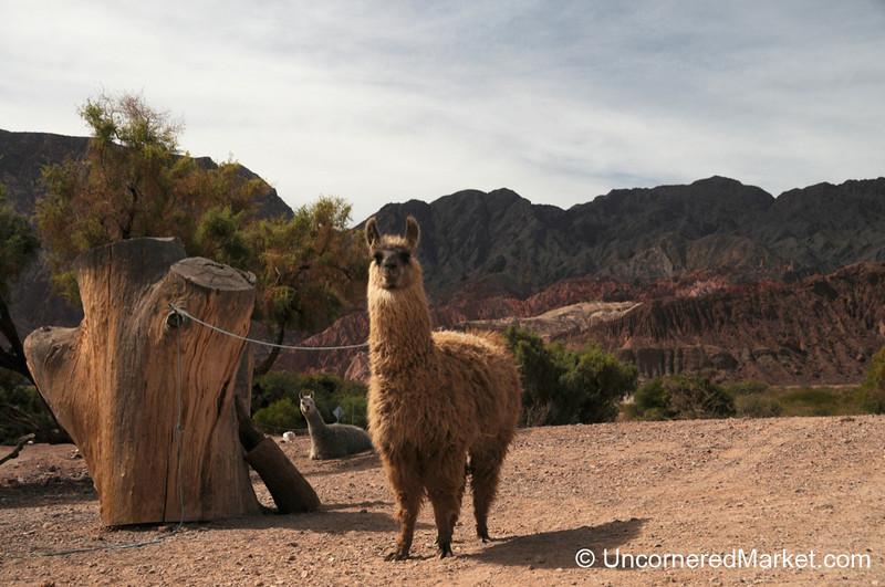 A Friendly Llama All Tied Up - Northwestern Argentina