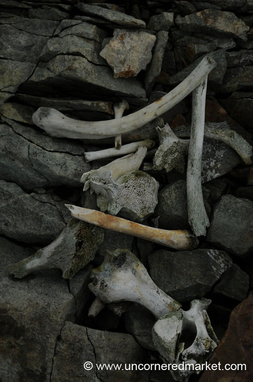 Seal Bones in Antarctica