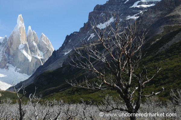 Dead Trees and Snow-Tipped Mountains - El Chalten