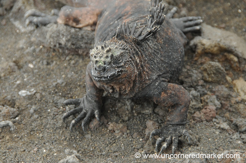 Marine Iguana - Galapagos Islands