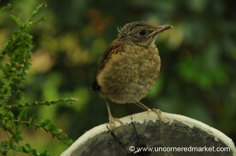 Baby Bird Ventures Out - Concepcion, Paraguay