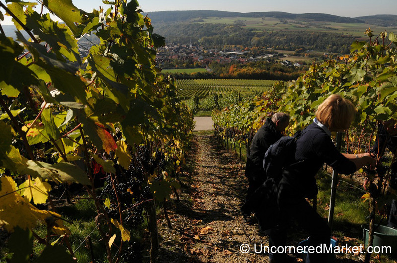Clearing Out the Grapes, Row by Row - Thüngersheim, Germany