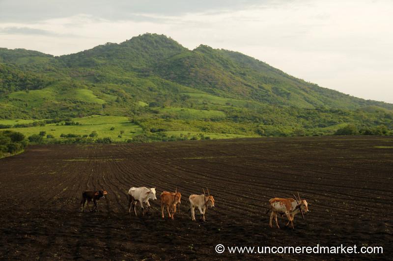 Cow Crossing - Nicaragua