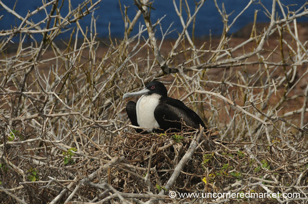Frigate Nesting - Galapagos Islands