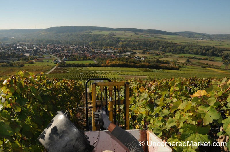Tossing in the Grapes - Thüngersheim, Germany