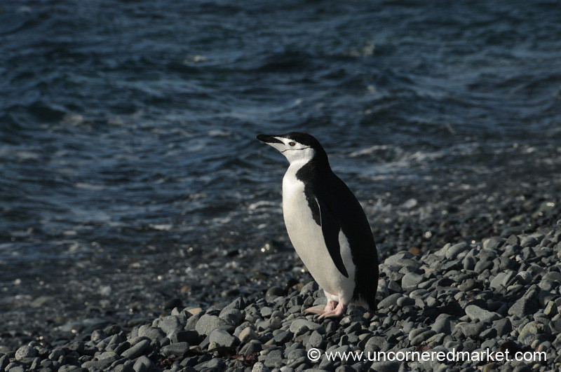 Chinstrap Penguin Catching a Bit of Sun - Antarctica