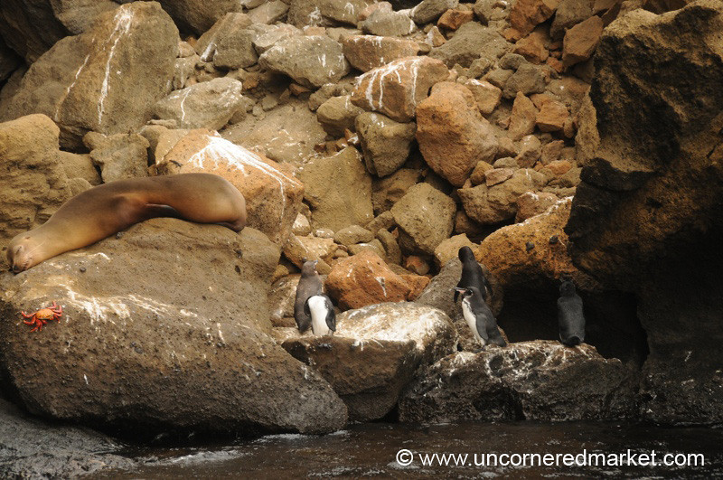 Galapagos Harmony - Sea Lion, Crab and Penguins