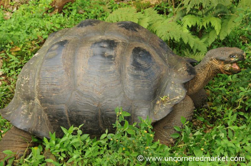 Santa Cruz Giant Tortoise - Galapagos Islands