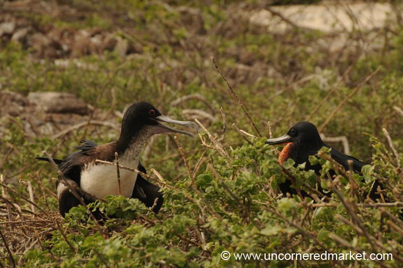 Frigate Bird Parenting - Galapagos Islands
