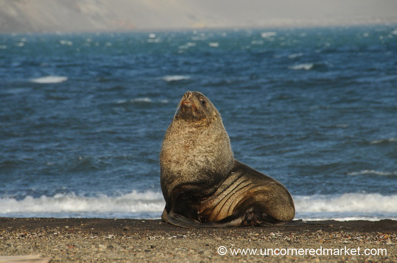Young Fur Seal - Antarctica