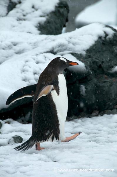 High Steps for a Gentoo Penguin - Antarctica