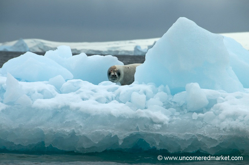 Leopard Seal Peaks Out - Antarctica