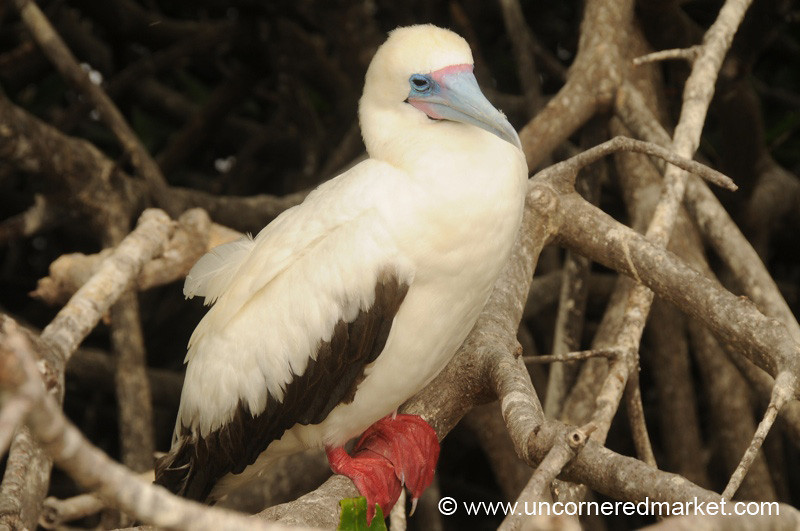 Red Footed Booby Teenager