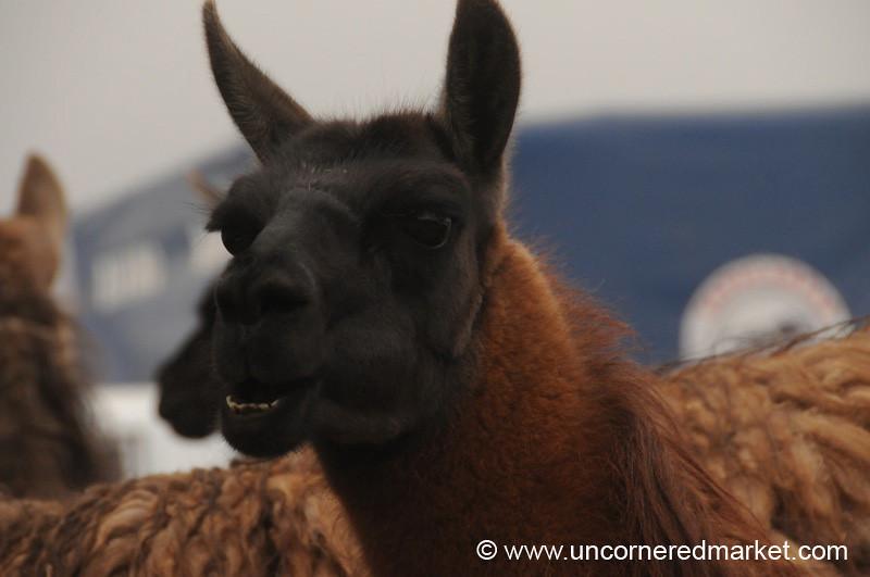 Expressive Llama - Saquisili, Ecuador