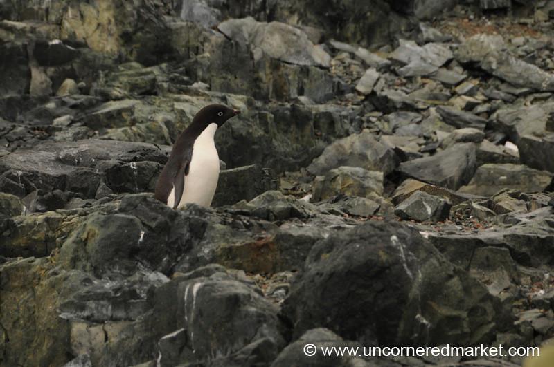 Little Adelie Penguin Looks a Bit Lost - Antarctica
