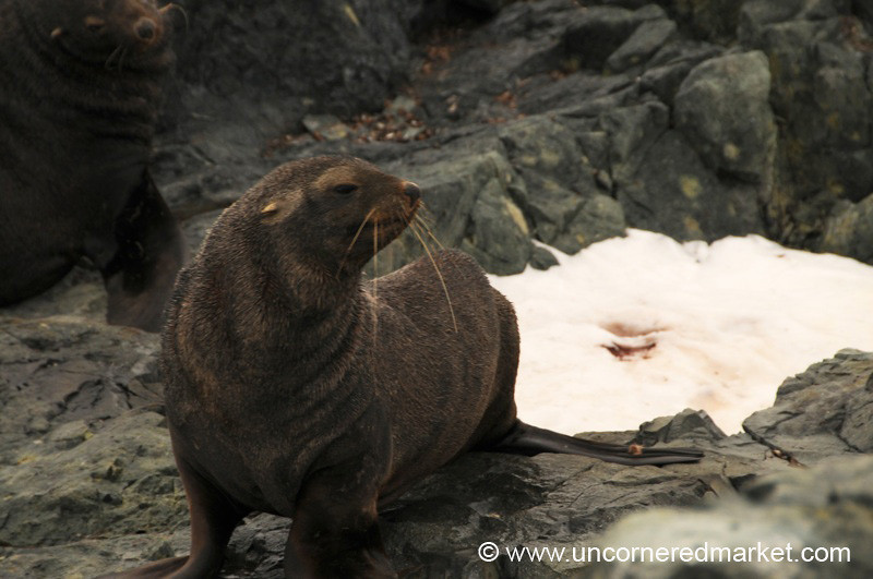 Fur Seal on His Flippers - Antarctica