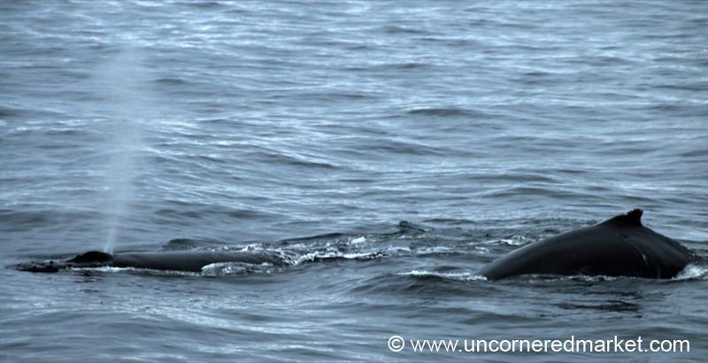 Humpback Whales Swimming Around - Antarctica