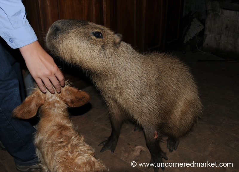 Meeting the Capybara - Concepcion, Paraguay