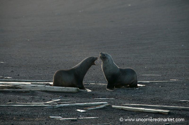 Fur Seals Fight for Authority - Antarctica