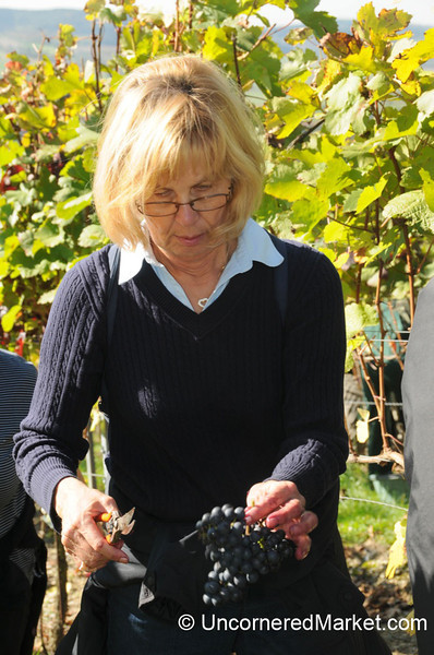 Carefully Cutting Away the Bad Grapes - Thüngersheim, Germany