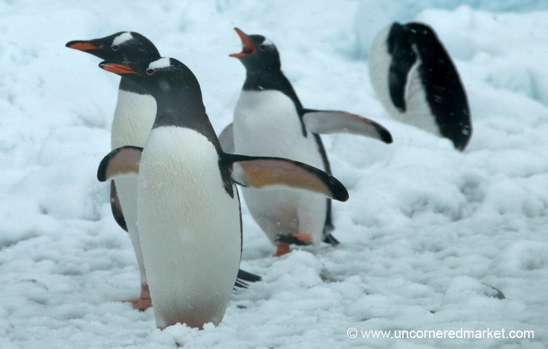 Penguin Run - Danco Island, Antarctica
