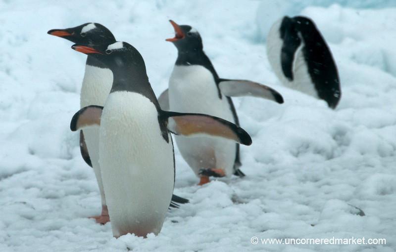 Penguin Run - Danco Island, Antarctica