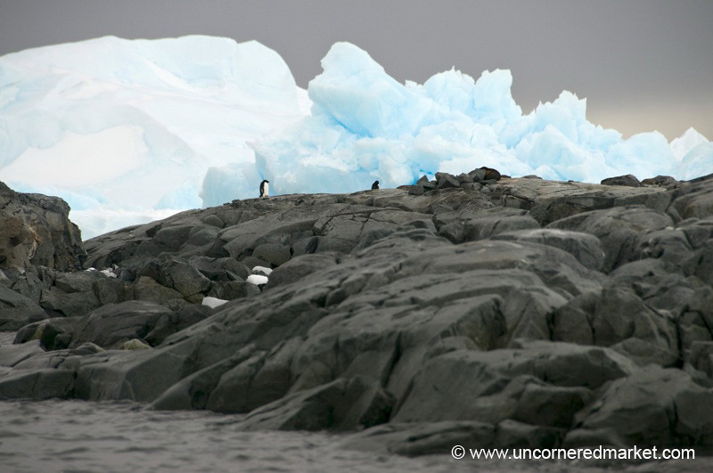 Adelie Penguin Taking a Stroll on Rock - Antarctica