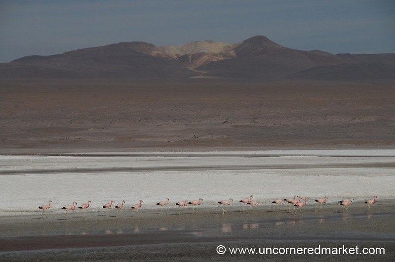 Flamingo March - Salar Tour, Bolivia