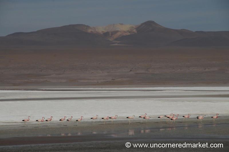Flamingo March - Salar Tour, Bolivia