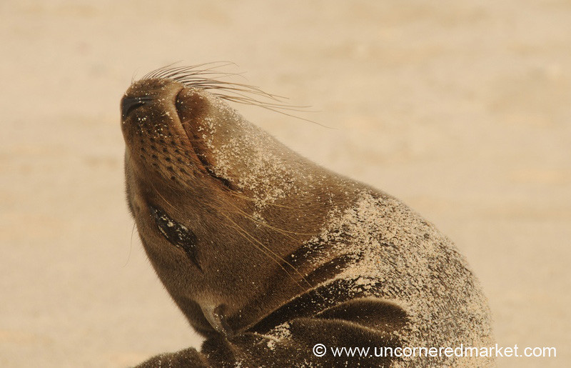 Sea Lion Back Bend - Galapagos Islands