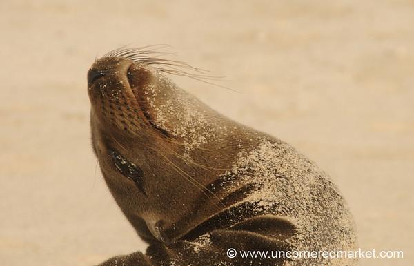 Sea Lion Back Bend - Galapagos Islands