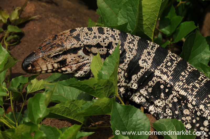 Black Tegu on the Prowl - Iguazu Falls, Argentina