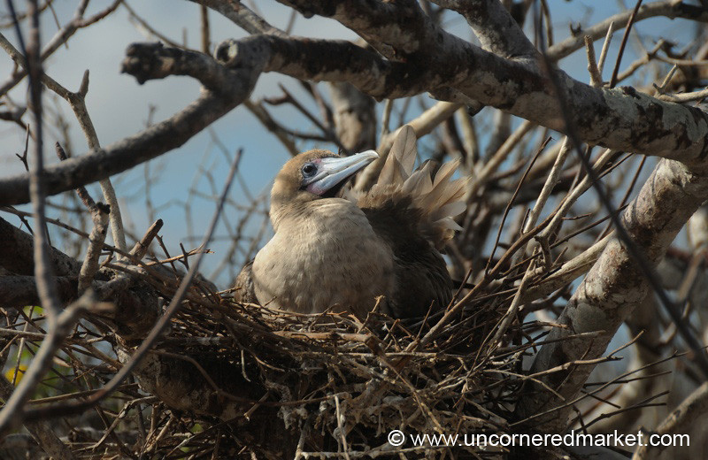 Red-Footed Booby Nest - Galapagos Islands
