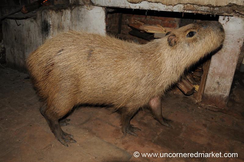 Meet Mimi the Capybara - Concepcion, Paraguay
