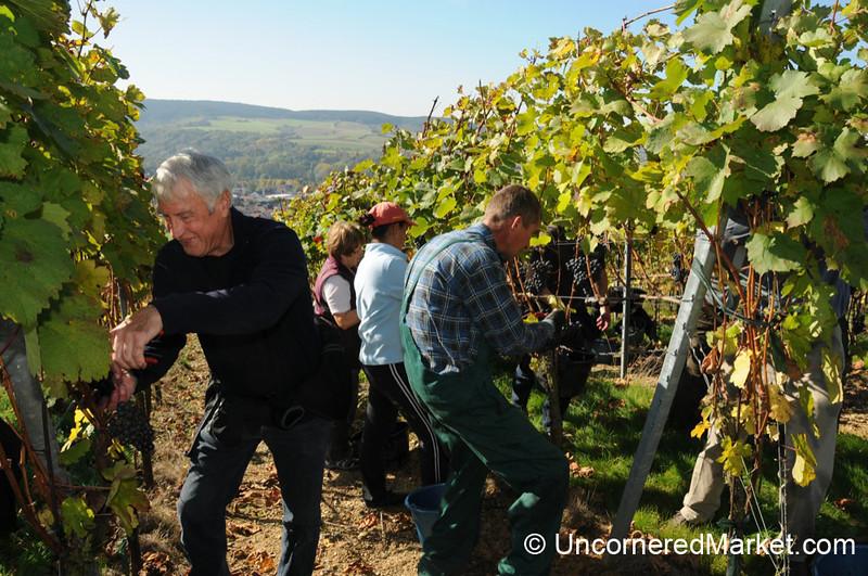Teamwork at the Vineyard - Bickel-Stumpf Winery Near Thüngersheim, Germany