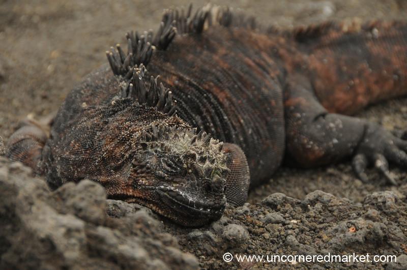 Lazy Marine Iguana - Galapagos Islands