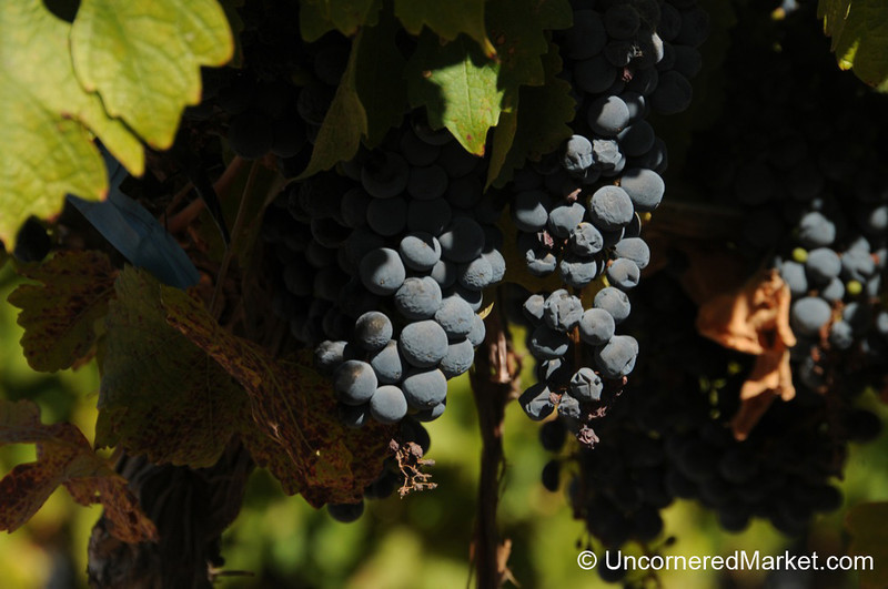 Late Harvest Grapes at NQN Winery in Patagonia, Argentina