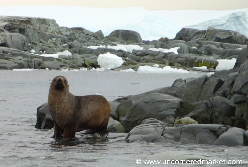 Fur Seal on All Fours - Antarctica